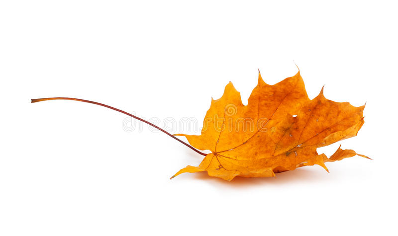 Autumn maple branch with leaves isolated on background royalty free stock image