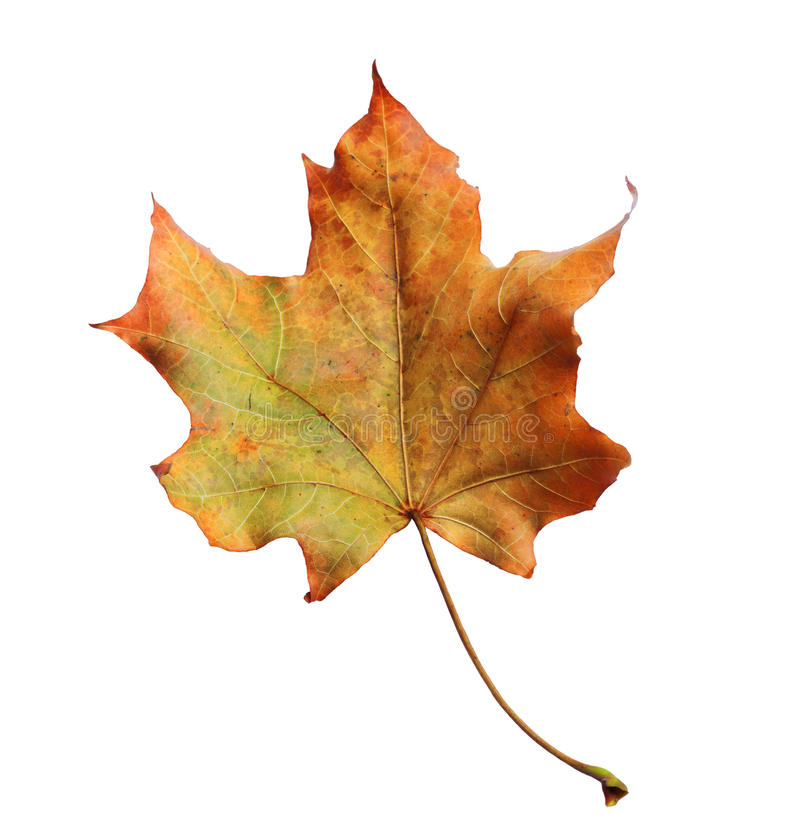 Autumn maple branch with leaves isolated on background stock photo
