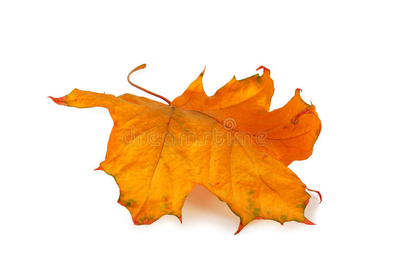 Autumn maple branch with leaves isolated royalty free stock photos