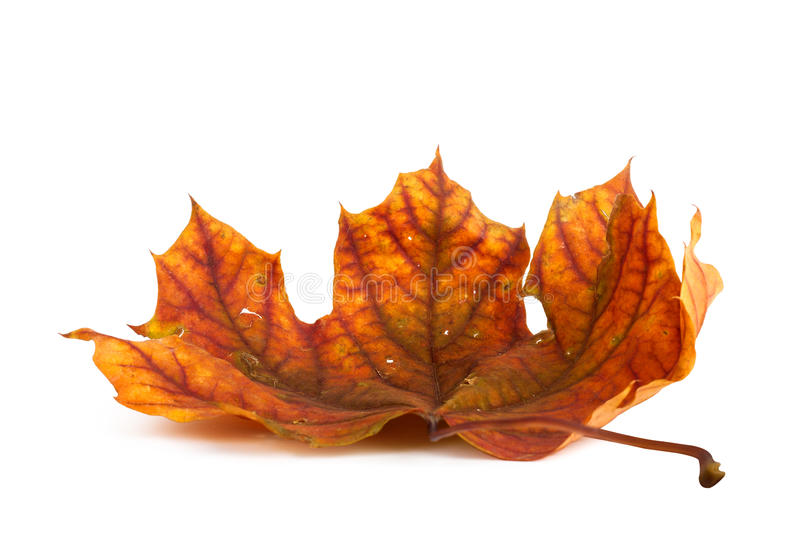 Autumn maple branch with leaves isolated royalty free stock images