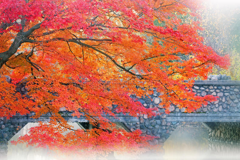 Download Autumn Maple and Bridge stock photo. Image of natural - 21903820