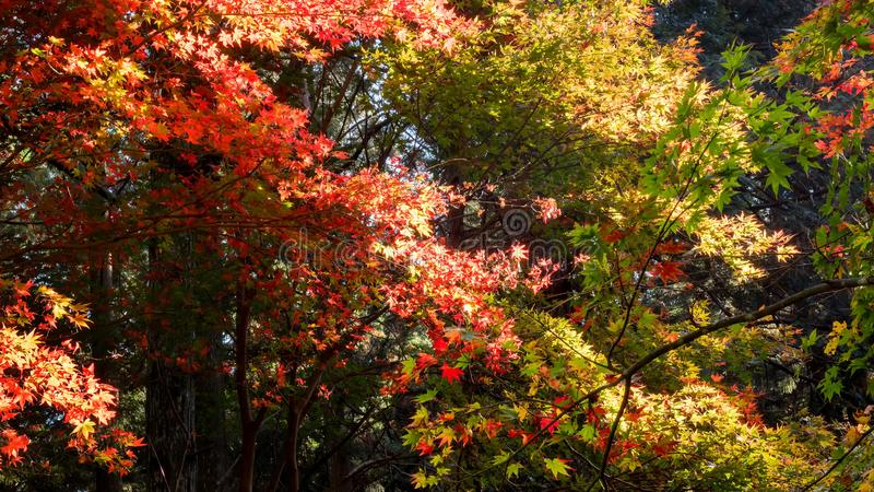 Japanese autumn maple forest royalty free stock images