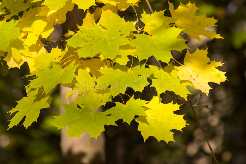 Download Autumn maple, stock image. Image of walk, beauty, nature - 34185935