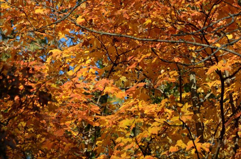 Autumn Maple Highlights image stock