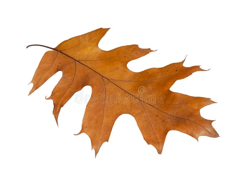 Autumn maple isolated leaf from garden tree on white background royalty free stock image