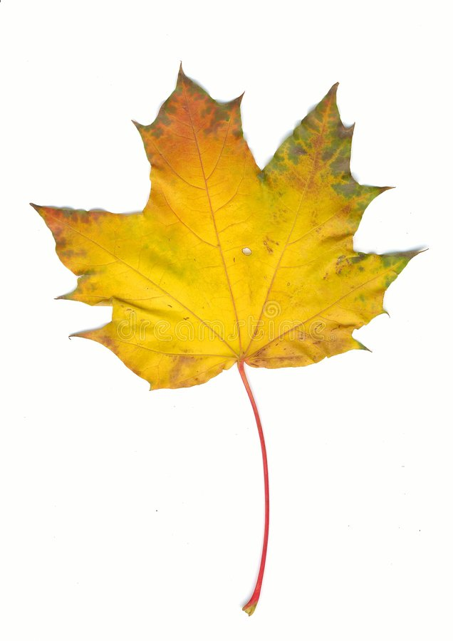 Free Autumn Maple Leaf Stock Photo - 1341300