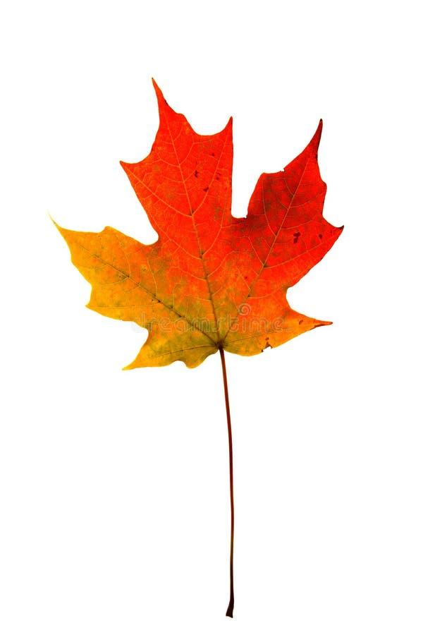 Autumn maple leaf stock photography