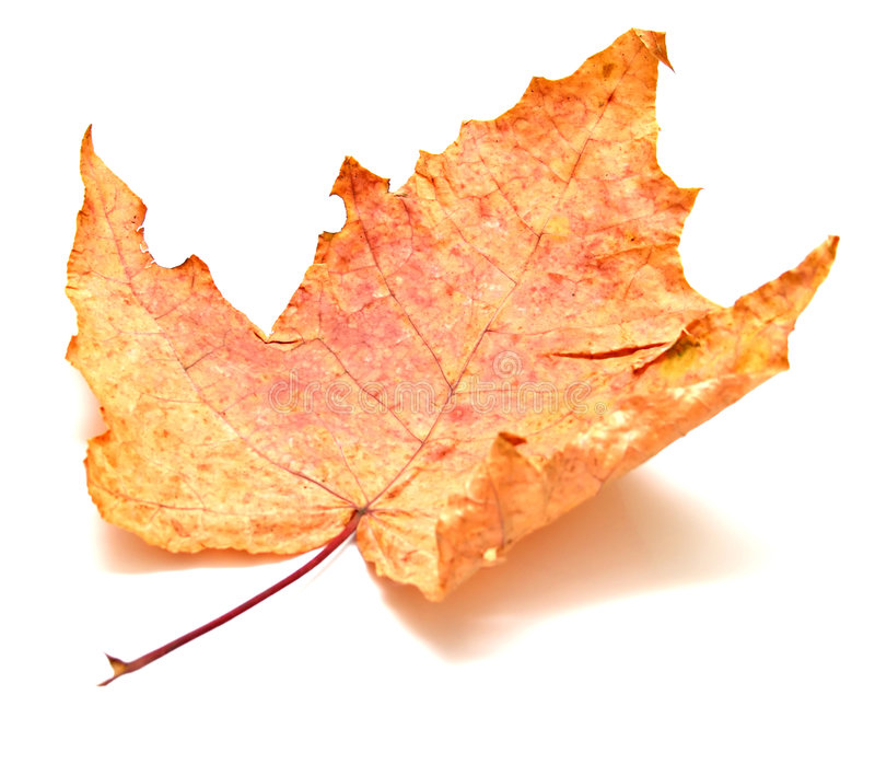 Download Autumn maple leaf stock photo. Image of redness, fall - 6535526