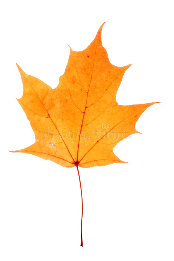 Autumn maple-leaf. Isolated on a white background