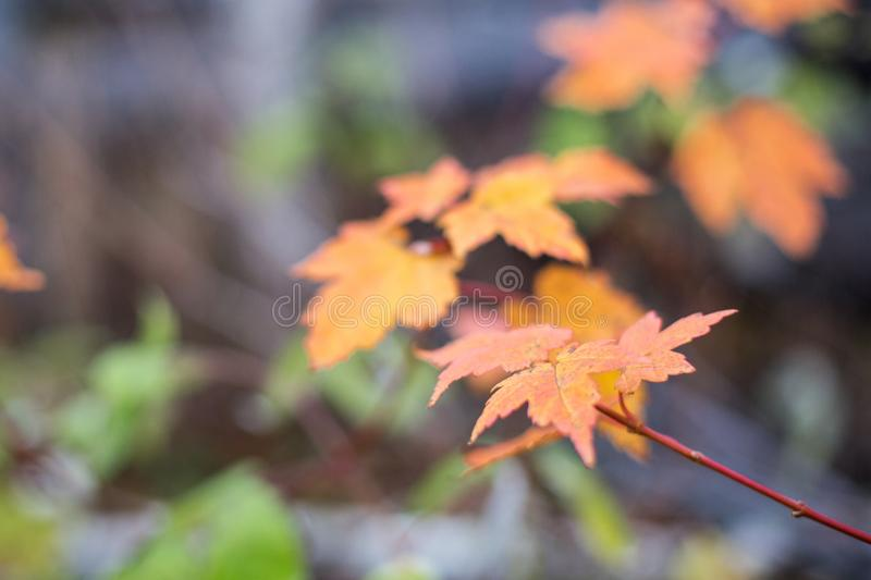 Autumn maple leaf background in shades of orange and yellow. Bright fall background with soft focus. royalty free stock photo