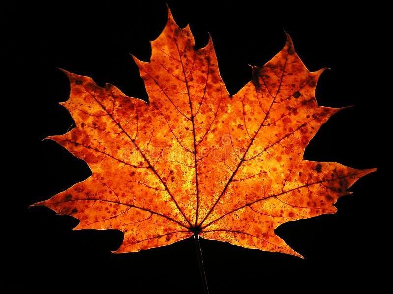 Autumn maple leaf on black background royalty free stock photos
