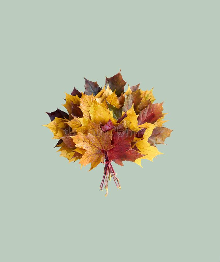 Autumn maple leaf bouquet isolated on pastel light mint background. Flat lay, overhead top view, closeup, copy space, fall and back to school concept stock photography