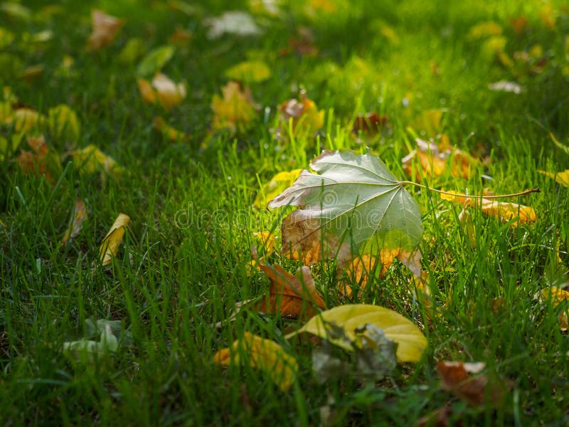 Autumn maple leaf closeup. There are many other autumn leaves on the green lawn royalty free stock photography