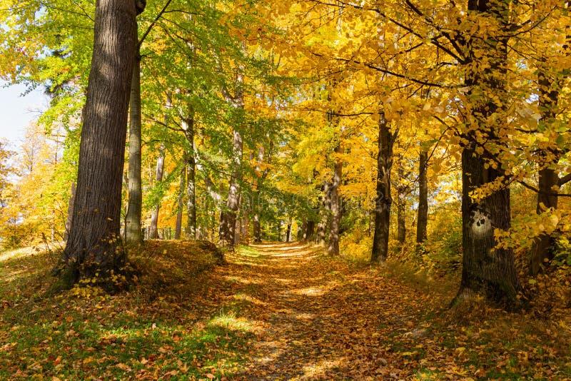 Autumn maple leaf isolated on nature background.  royalty free stock photos