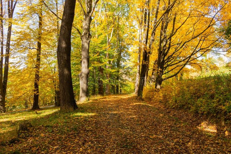 Autumn maple leaf isolated on nature background.  royalty free stock photo