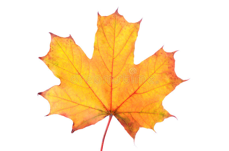 Autumn maple leaf isolated on white background stock image