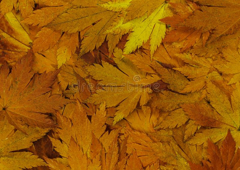 Autumn maple leaf leaves. Background nature royalty free stock photography