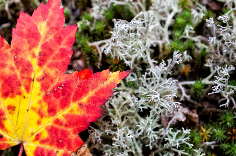 Autumn Maple Leaf and Lichen Close Up royalty free stock photo