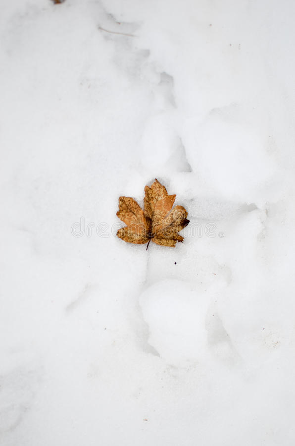 Autumn maple leaf lying in the snow. Autumn brown maple leaf lying in the snow stock photos