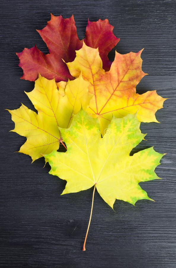 Autumn maple leaf palette. On a black wooden surface royalty free stock image