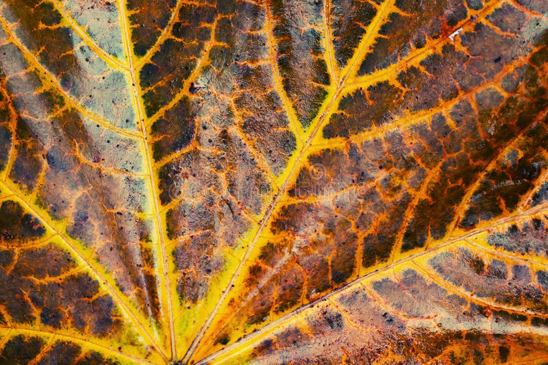 Autumn maple leaf, selective focus royalty free stock images