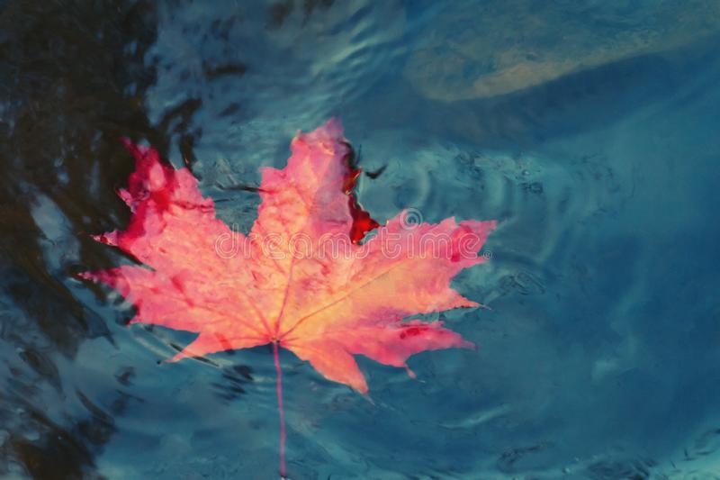 Autumn maple leaf sinking in dark water. Soft focus. Loss, withering, death concept.  royalty free stock images