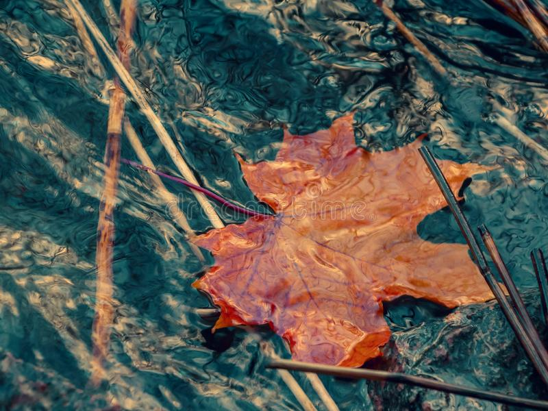 Autumn maple leaf sinking in dark water. Soft focus. Loss, withering, death concept.  stock photos