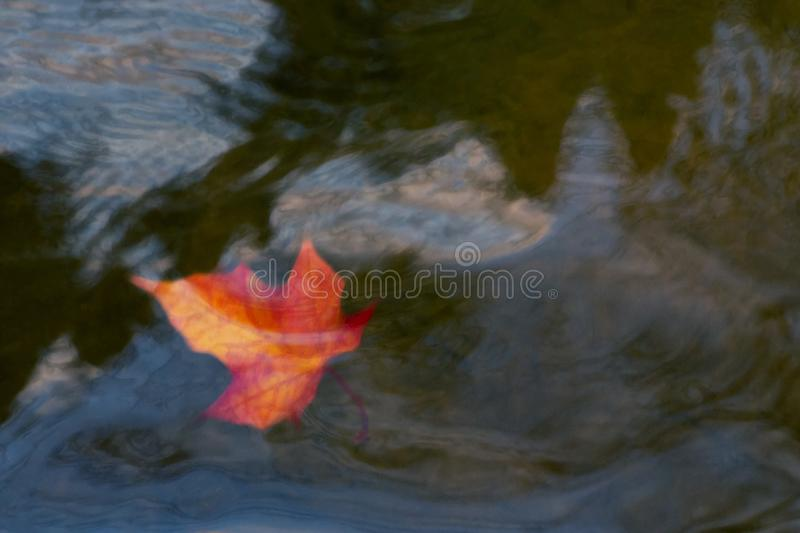 Autumn maple leaf sinking in dark water. Soft focus. Loss, withering, death concept.  stock photo