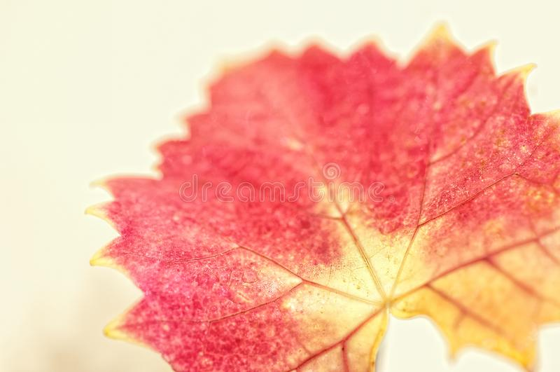 An autumn maple leaf in soft focus. An isolated autumn maple leaf in soft focus with a creamy bokeh background stock photos