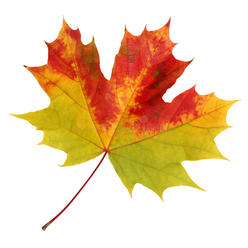 Autumn maple leaf on a white background. royalty free stock photos