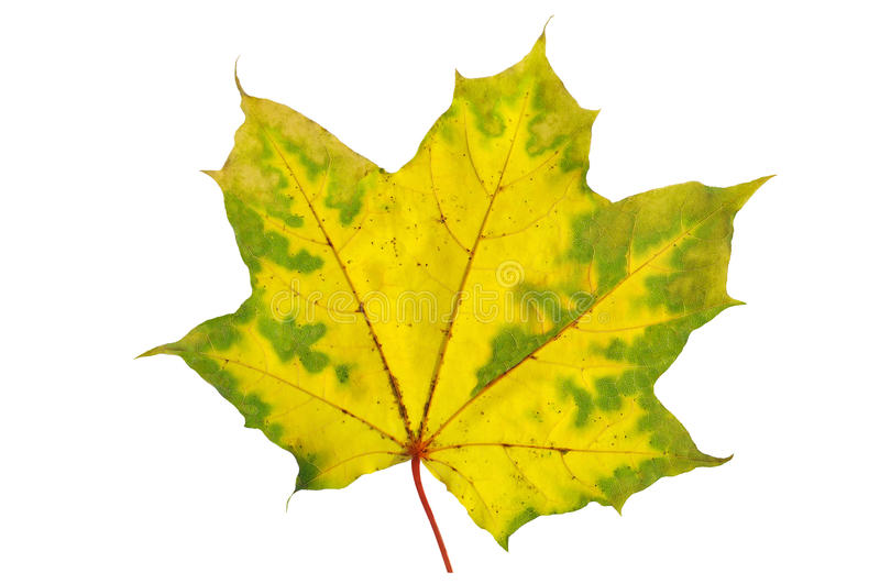 Download Autumn maple leaf stock photo. Image of leaf, leaves - 34883988