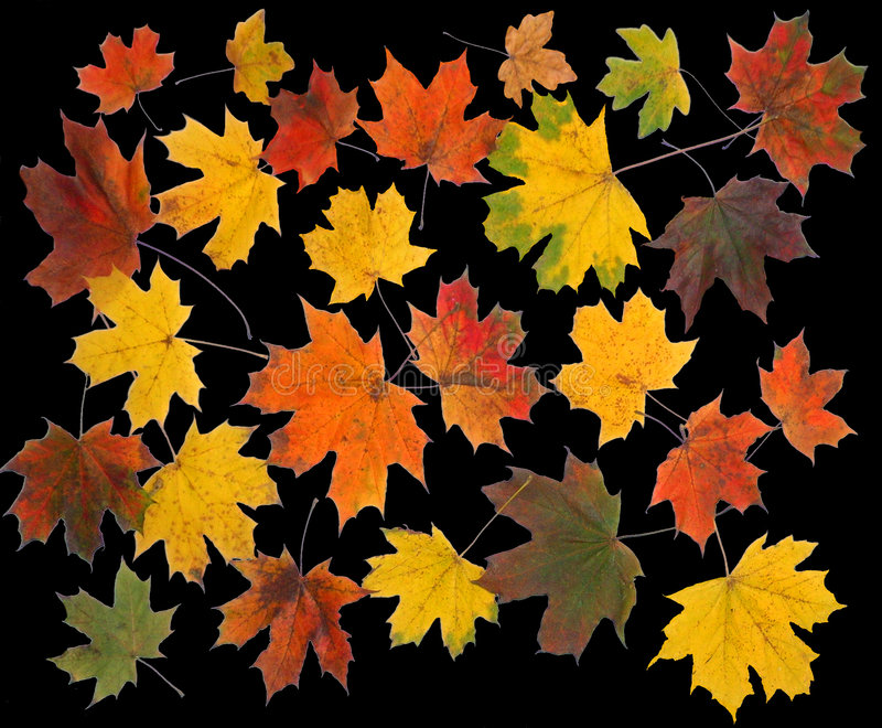 The Autumn maple leafs. royalty free stock images