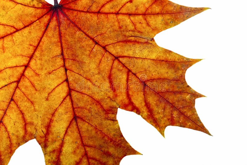 Download Autumn maple leave stock photo. Image of design, orange - 3256804