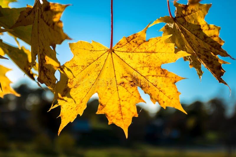 Autumn Maple Leaves, érable jaune laisse Brown de rotation images stock