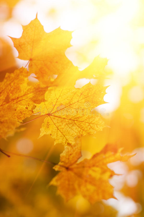Download Autumn maple leaves stock photo. Image of beauty, season - 11479602