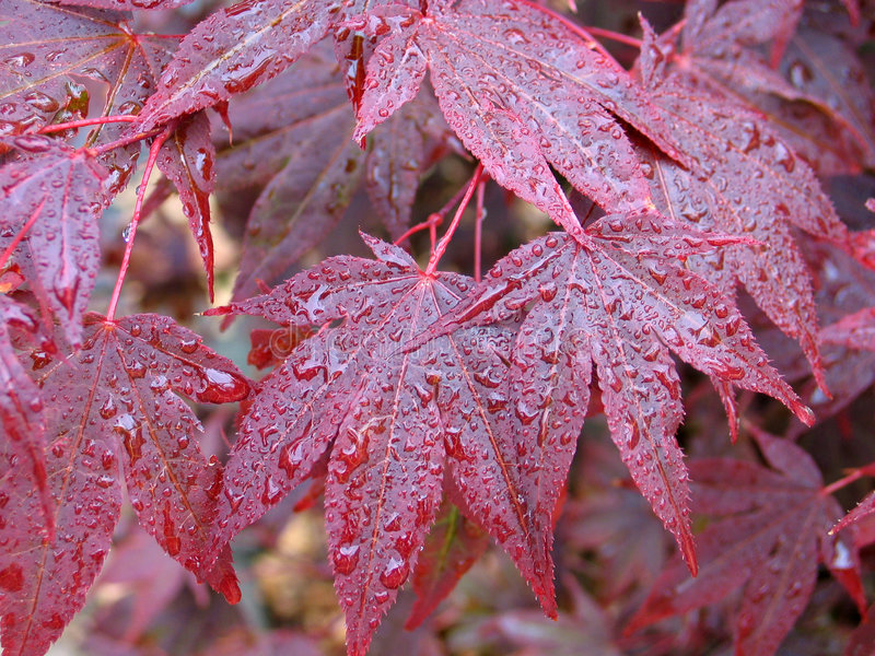 Autumn maple leaves. Red autumn maple leaves with dew drops stock images