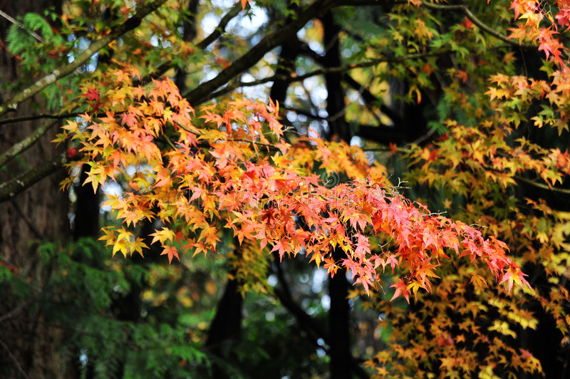 Download Autumn maple leaves stock image. Image of garden, butchart - 7225641