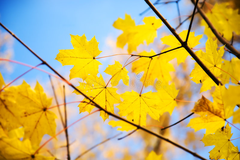 Download Autumn Maple Leaves On A Branch Stock Photo - Image: 6671898