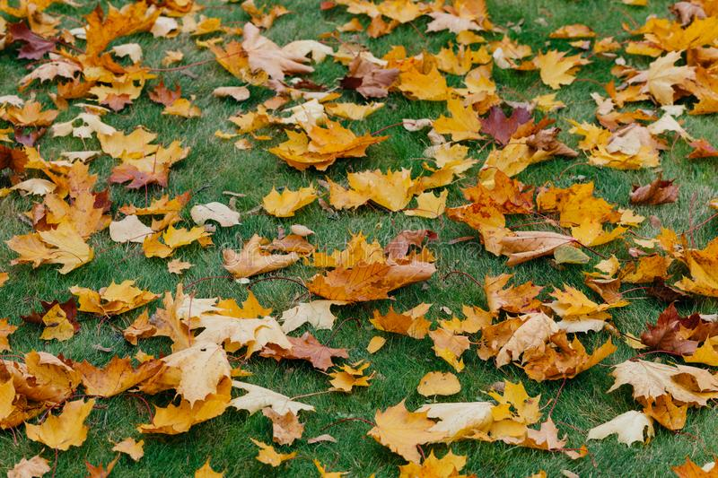 Autumn maple leaves carpet. Green grass covered with fallen foliage during nice season. Horizontal shot. Yellow and green colors royalty free stock photography