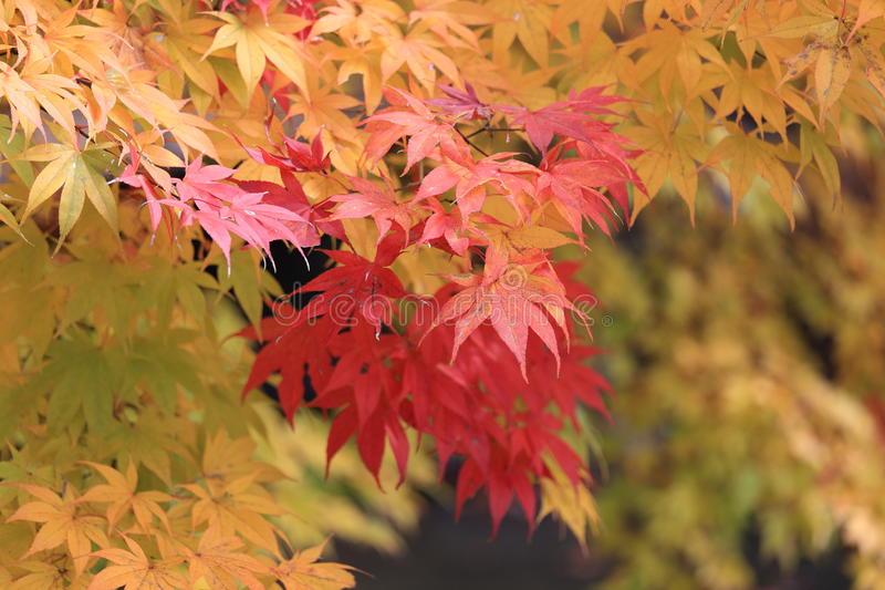 Autumn maple leaves change color. In Japan stock photos