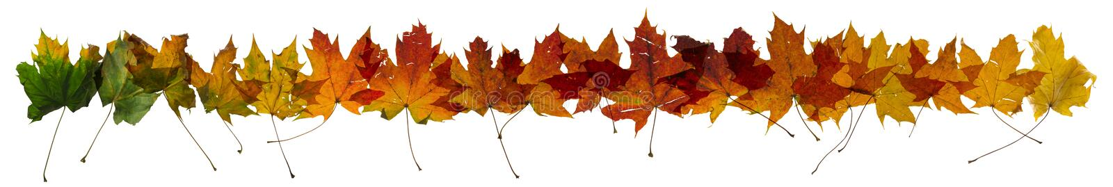 Autumn Maple Leaves Change Row. Maple autumn leaves color change, studio photographed, with transparency and isolated on absolute white stock photography