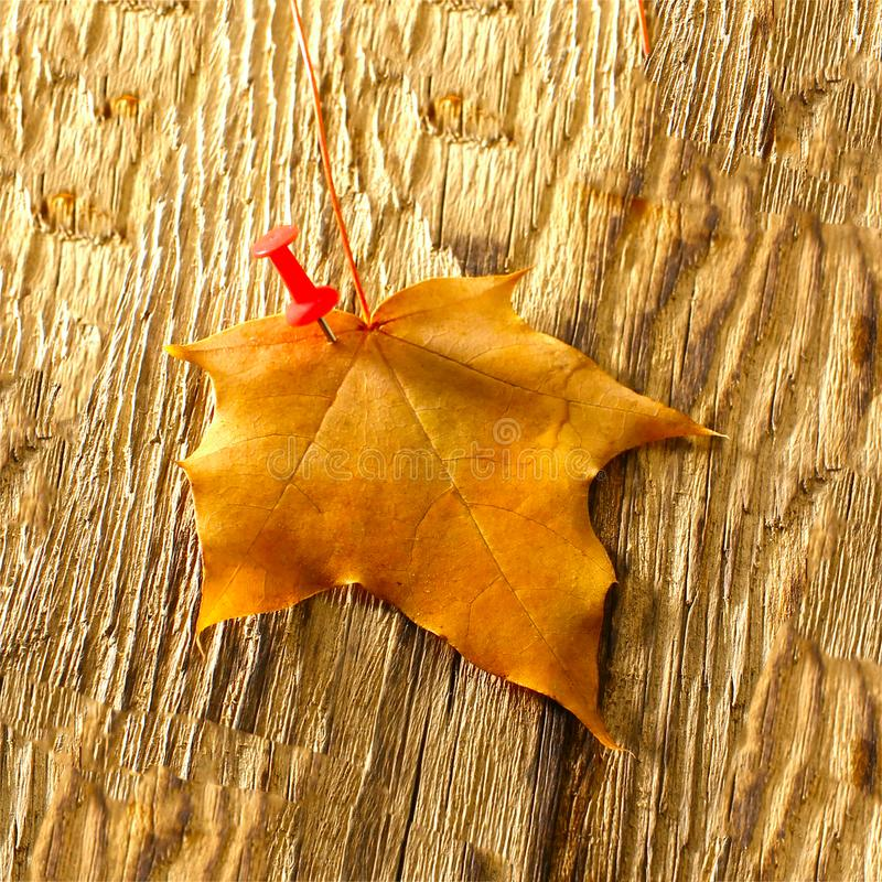 Autumn maple leaves clipart on wooden table.Falling leaves natural background royalty free stock photos