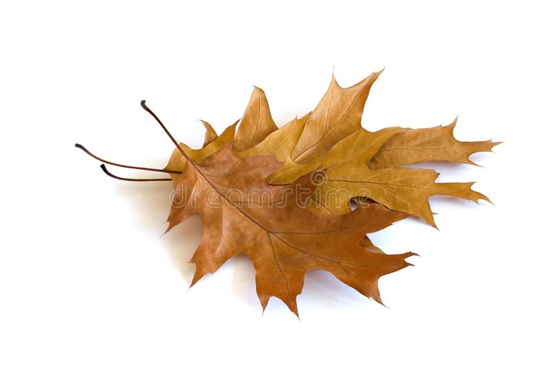 Autumn maple leaves isolated on white background stock photo