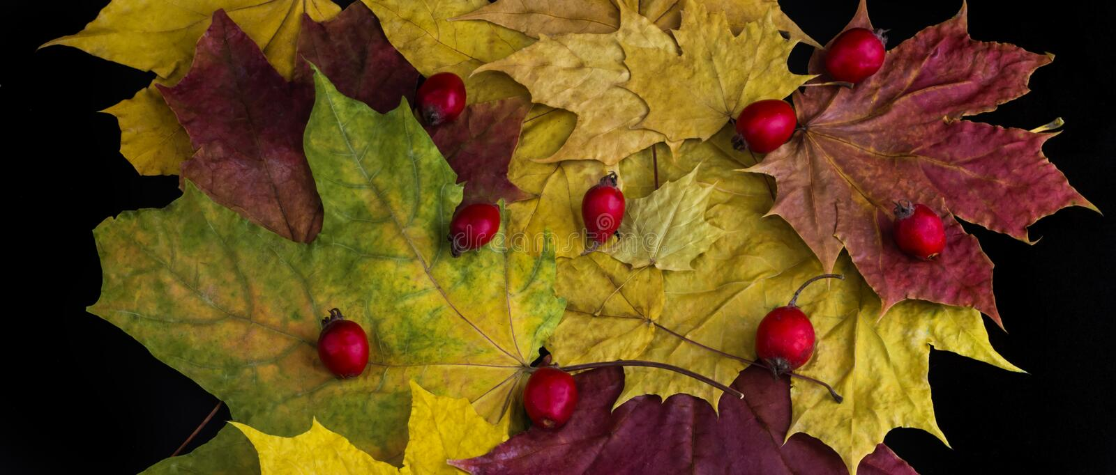 Autumn maple leaves with red hawthorn berries lie on a black background stock photos
