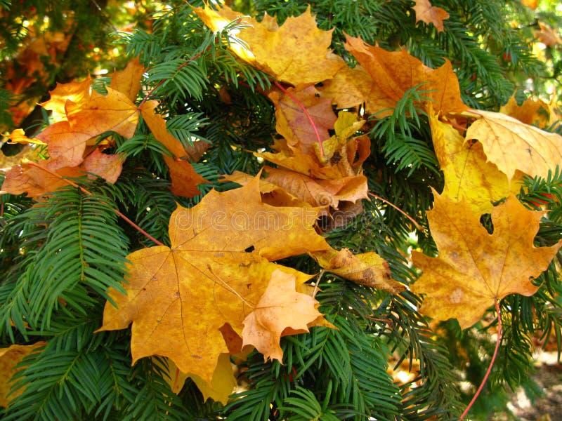 Autumn Maple Leaves sui rami verdi fotografie stock libere da diritti