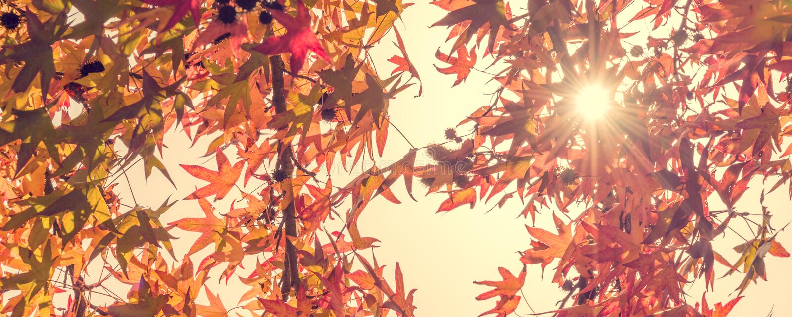 Autumn maple leaves with sunbeam, forest in autumn, vintage process. Autumn maple leaves with sunbeam, looking up in a forest in autumn, vintage process stock photo