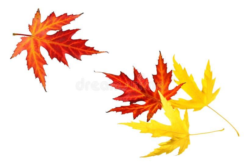 Autumn Maple Leaves vermelho e amarelo imagens de stock