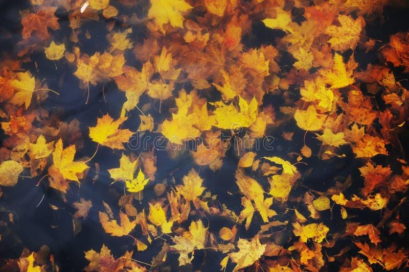 Autumn maple leaves on the water. Autumn colorful maple leaves on the water royalty free stock image