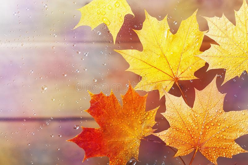 Autumn maple leaves on window in water drops after rain. royalty free stock photo