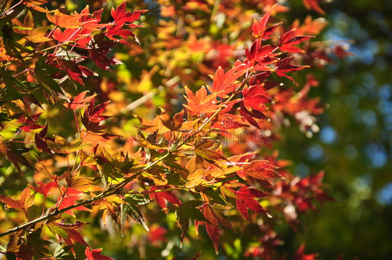 Autumn Maple Mixed Colour Leaves sous Sunligt en parc d'Ueno Tokyo photographie stock libre de droits